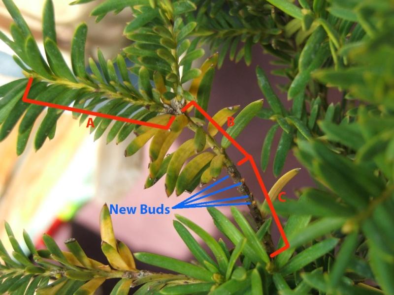 taxus yellow leaves Yew_bu10