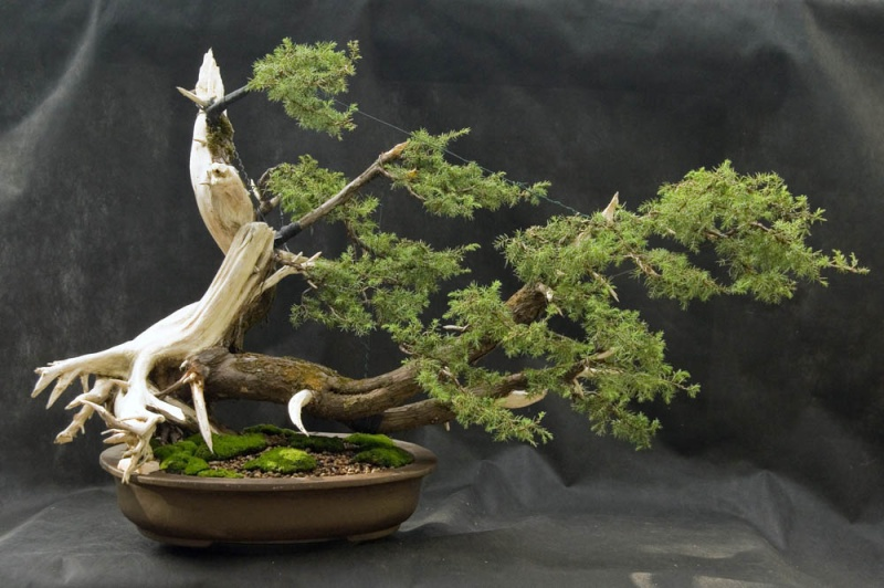 Common juniper S1juni10