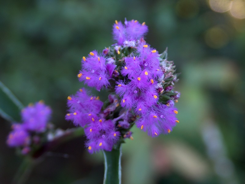 (Commelinaceae aff. Belosynapsis ?) Une nouvelle misère Hpim2513