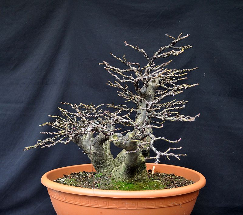 PICTURES OF MY REWIRED ILEX VERTICILLATA 14-11-11