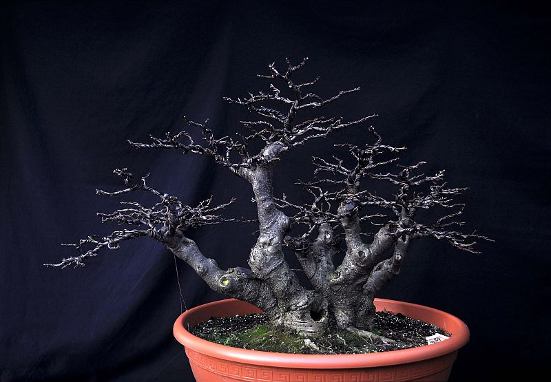 PICTURES OF MY REWIRED ILEX VERTICILLATA 14-11-12