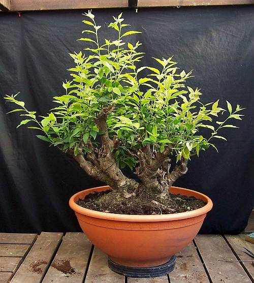 PICTURES OF MY REWIRED ILEX VERTICILLATA 5-9-2010