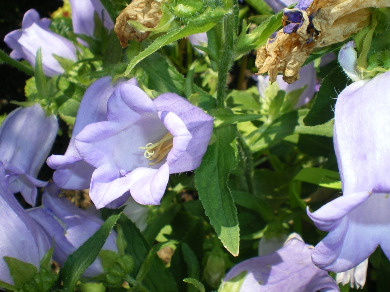 toutes les fleurs de couleur violette, bleue,  - Page 2 Imgp7674