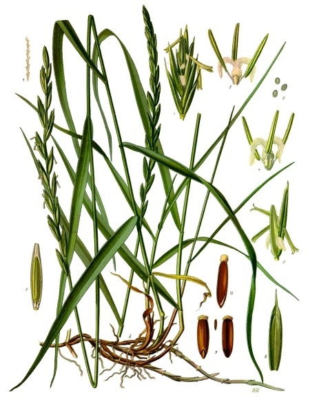 Chiendent (triticum repens)  Chiend10