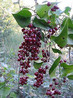 Salsepareille (smilax aspera) Salsep10