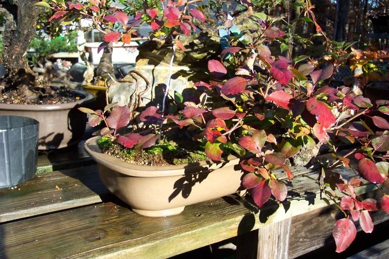 Pyrus pyrifolia - color 100_3628