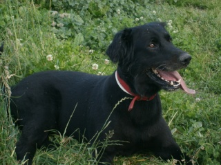 Labrador croisé, 7 ans, mâle, Var Viggo_10