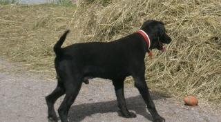 Labrador croisé, 7 ans, mâle, Var Viggo_11