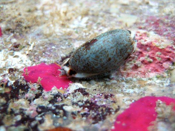 Erronea cylindrica cylindrica - (Born, 1778) 29377110