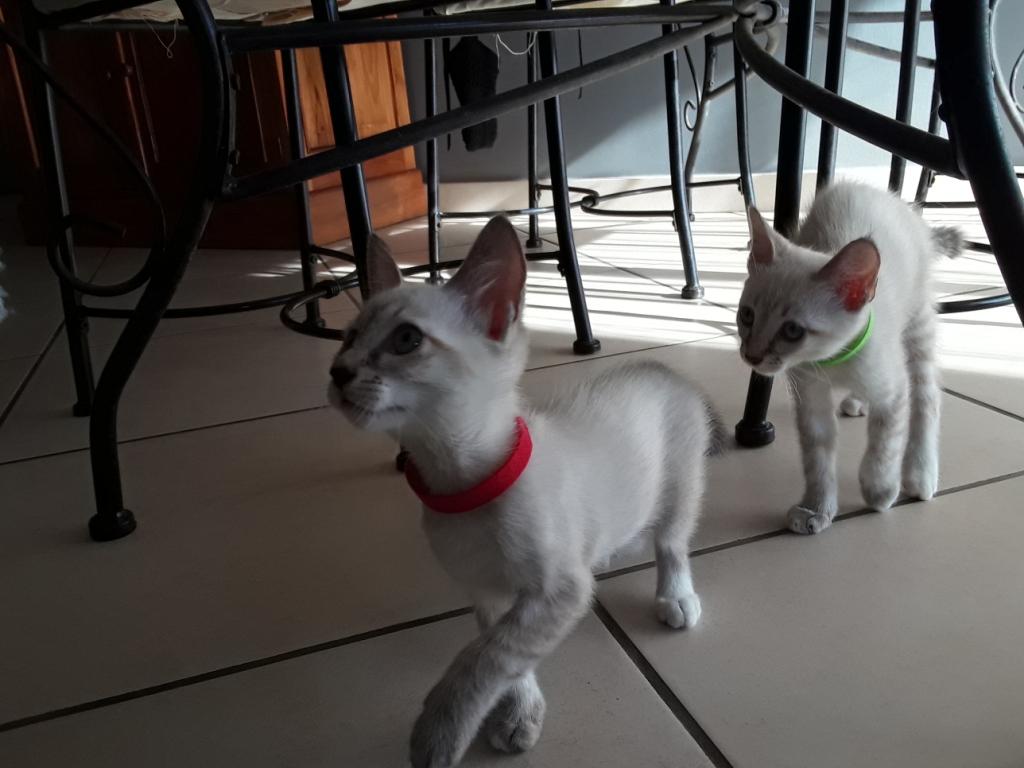 DIDIA, chatonne femelle crème de 2 mois environ - réservée avec sa soeur par Pierre A11