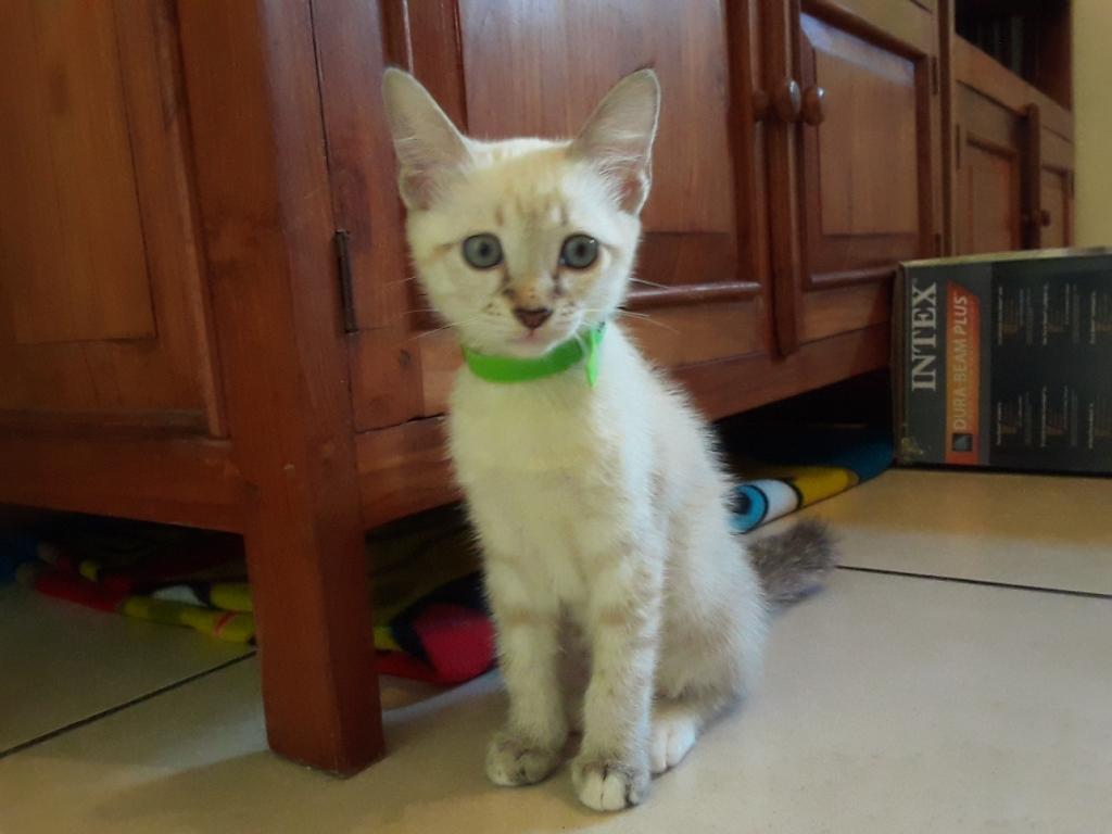 DIDIA, chatonne femelle crème de 2 mois environ - réservée avec sa soeur par Pierre A12