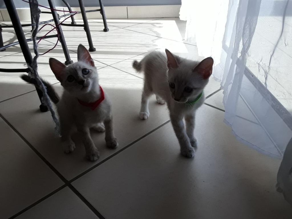 DIDIA, chatonne femelle crème de 2 mois environ - réservée avec sa soeur par Pierre B11