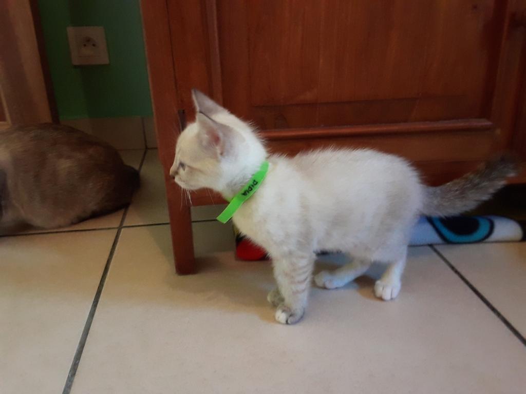DIDIA, chatonne femelle crème de 2 mois environ - réservée avec sa soeur par Pierre B12
