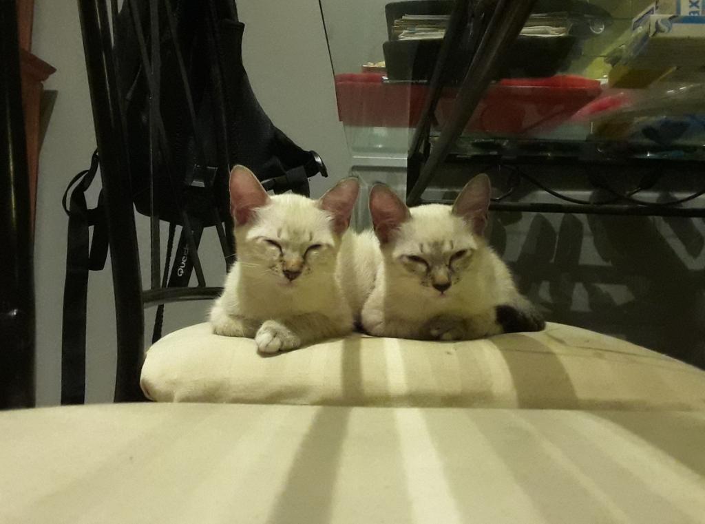 DIDIA, chatonne femelle crème de 2 mois environ - réservée avec sa soeur par Pierre Beide110