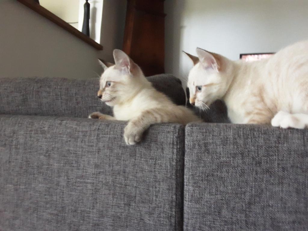 DIDIA, chatonne femelle crème de 2 mois environ - réservée avec sa soeur par Pierre Beide210