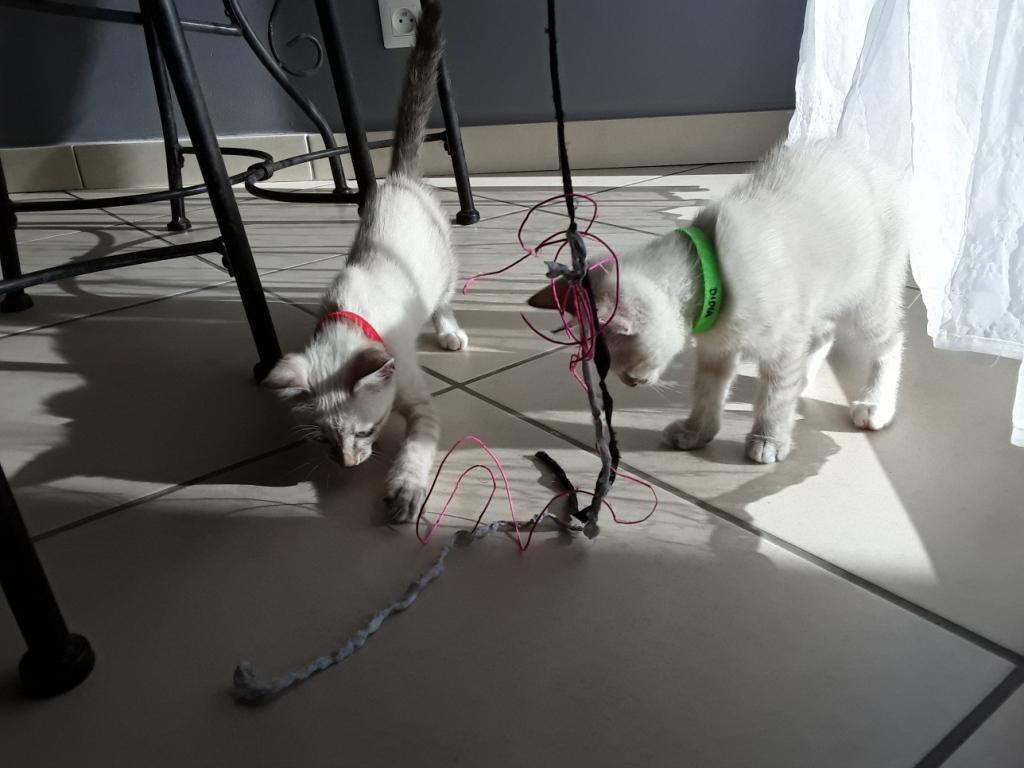 DIDIA, chatonne femelle crème de 2 mois environ - réservée avec sa soeur par Pierre C13