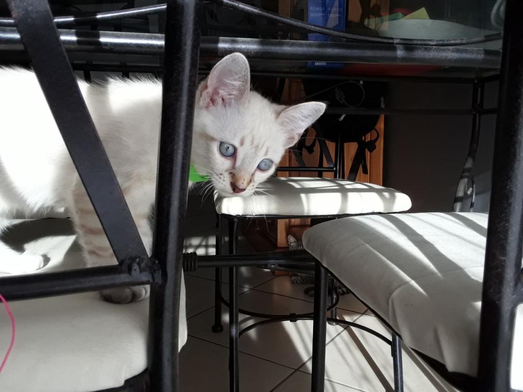 DIDIA, chatonne femelle crème de 2 mois environ - réservée avec sa soeur par Pierre C14