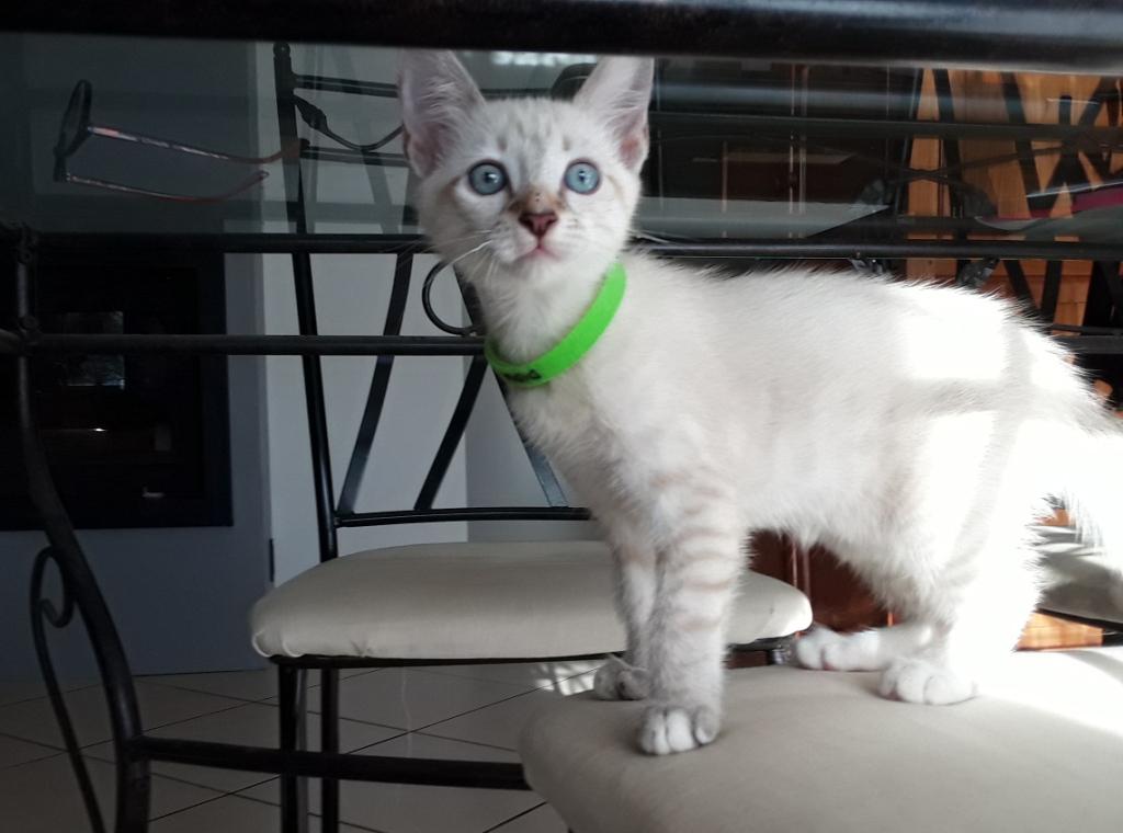 DIDIA, chatonne femelle crème de 2 mois environ - réservée avec sa soeur par Pierre E10