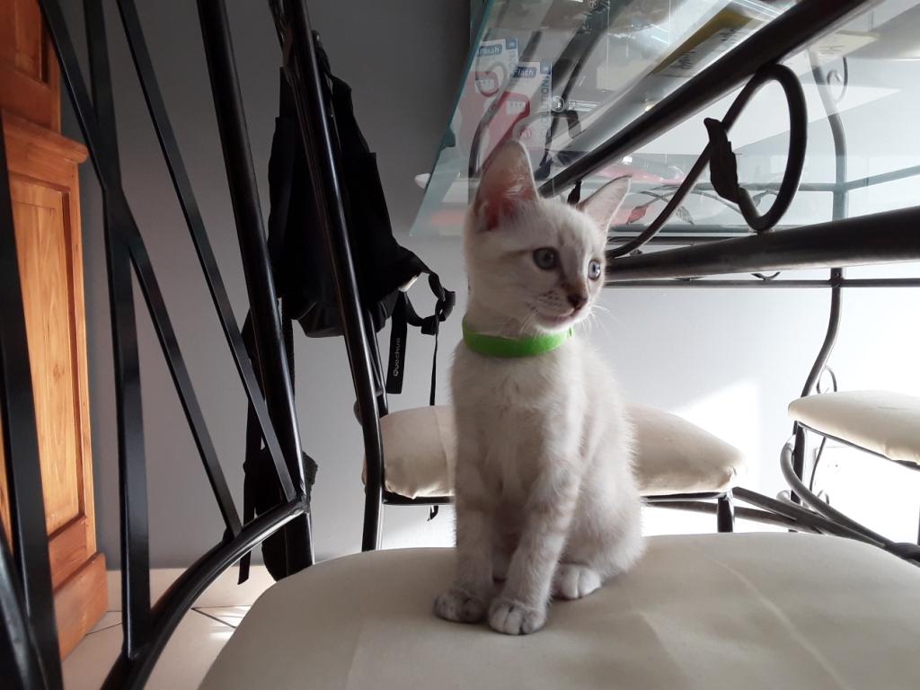 DIDIA, chatonne femelle crème de 2 mois environ - réservée avec sa soeur par Pierre G10