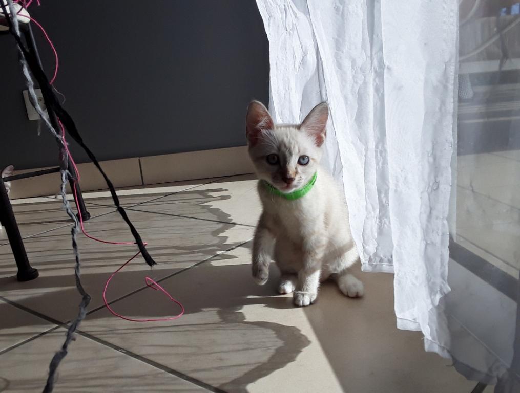 DIDIA, chatonne femelle crème de 2 mois environ - réservée avec sa soeur par Pierre H10
