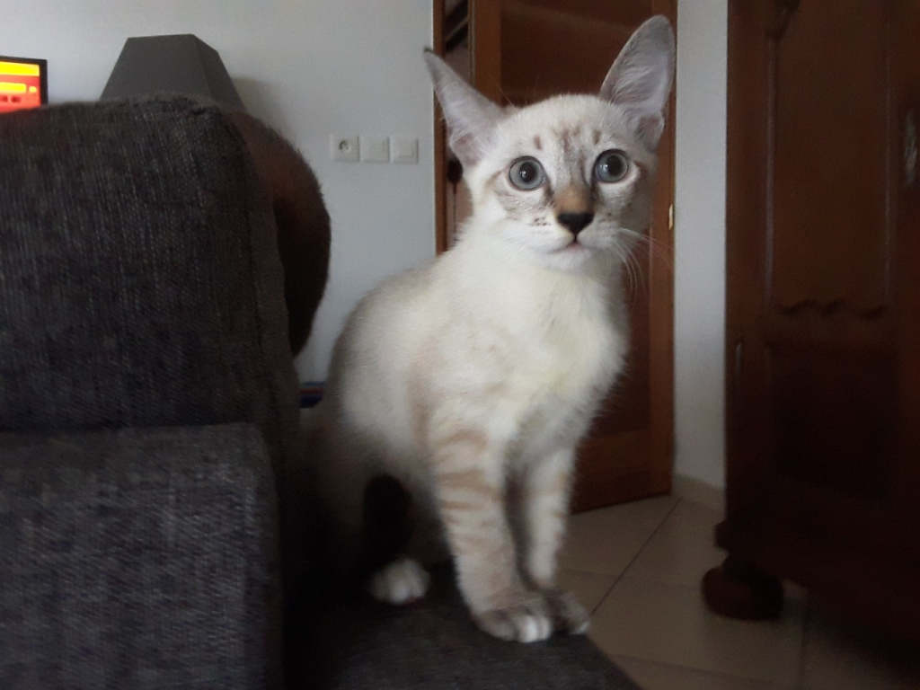 DIDIA, chatonne femelle crème de 2 mois environ - réservée avec sa soeur par Pierre Satis410