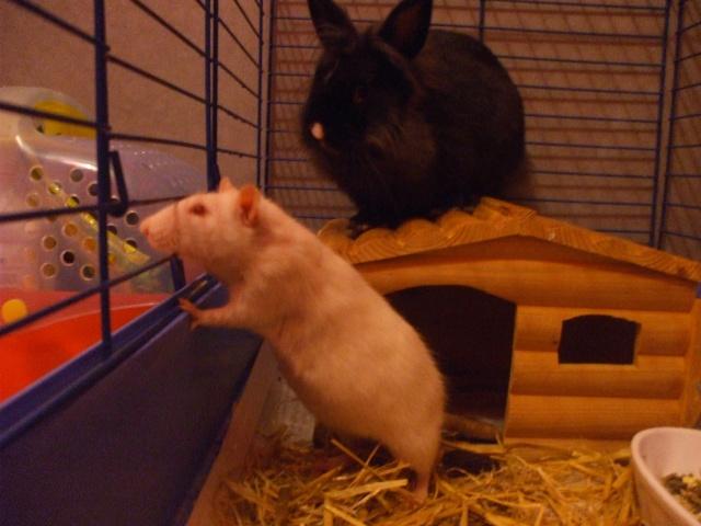 Rats et Lapin 44010