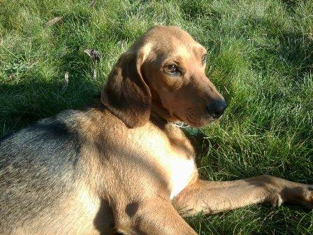 FICELLE - Femelle - X beagle - 4 ans  Ficell11