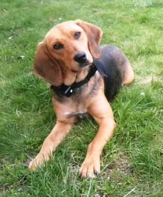 FICELLE - Femelle - X beagle - 4 ans  Ficell12