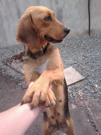 FICELLE - Femelle - X beagle - 4 ans  Photo013