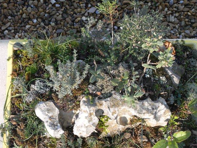 ma mini-garrigue ou autres réalisations à partir de plantes sauvages 12_dec10