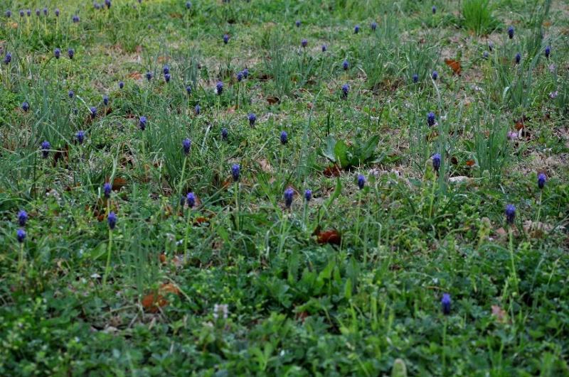 Prairies ou pelouses en début de printemps 3_avri10