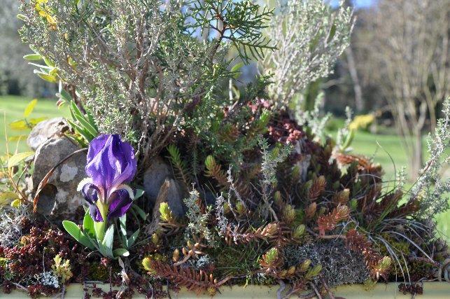 ma mini-garrigue ou autres réalisations à partir de plantes sauvages Dabut_14