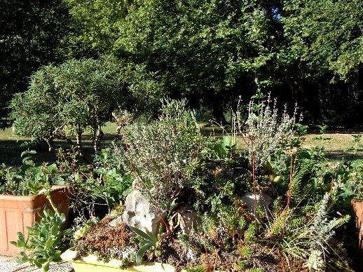 ma mini-garrigue ou autres réalisations à partir de plantes sauvages Dabut_15