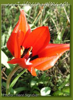 Pour Zora (mettre une photo) Tulipa11