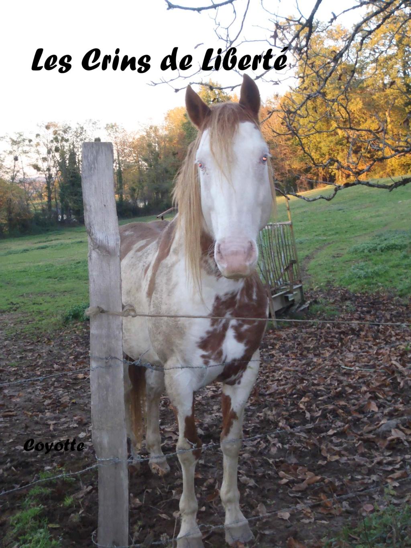 Dept19-6 ans- COYOTTE C-D- Paint horse-réservé par Steff39 (Janvier 2019) Coyott11
