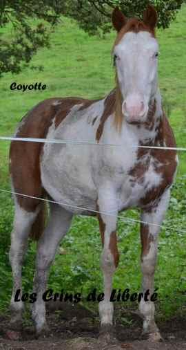 Dept19-6 ans- COYOTTE C-D- Paint horse-réservé par Steff39 (Janvier 2019) Coyott13