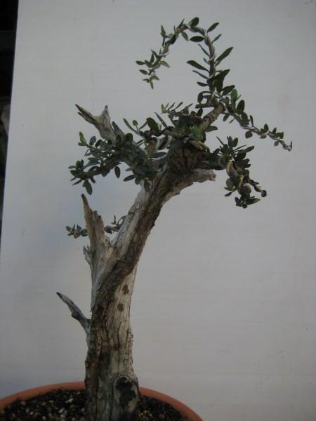 Acebuche seco con brotes Img_3011