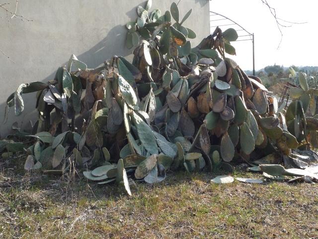 Bilan hiver 2011/2012 : les plantes  après cette vague de froid P1010215