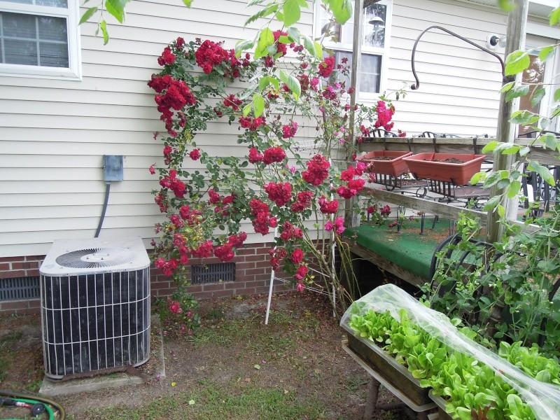 Roses help Dscn0616