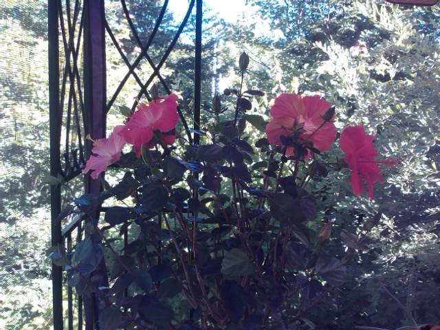 Un bouquet d'hibiscus Img04110