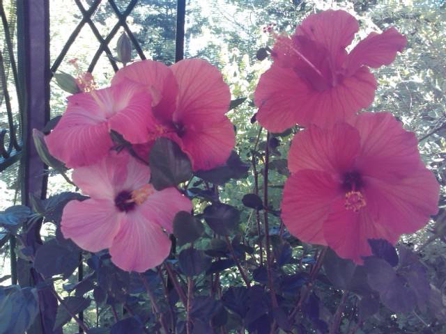 Un bouquet d'hibiscus Img04410