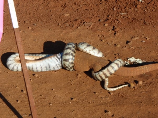 Snake eating a goanna.  Image013