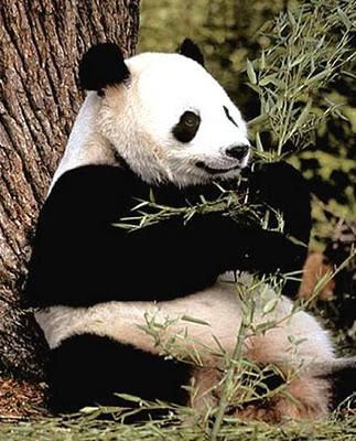 El té más caro del mundo, tiene caca de oso panda Oso_pa10