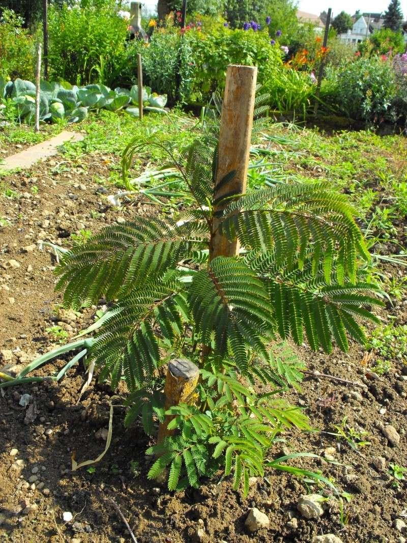 Albizia(ou arbre a soie) - Page 4 Jardin69