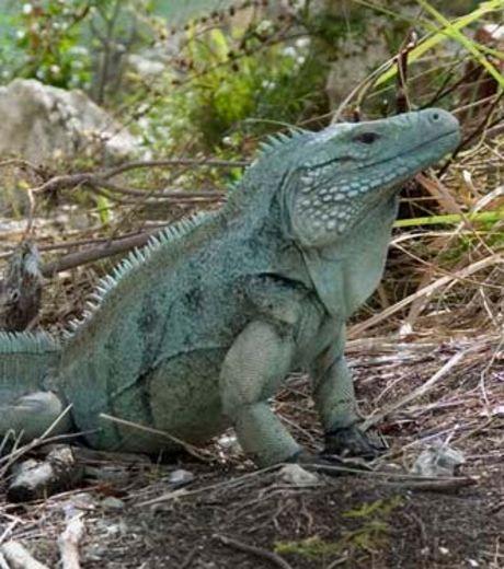 L'iguane bleu sauvé de justesse de l'extinction totale !  L-igua10