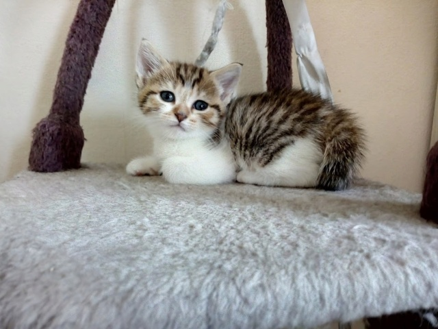 Osiris, femelle type européenne tigrée et blanche, née le 20 avril 2018 Img_2010