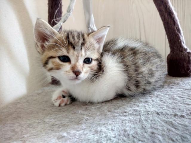 Osiris, femelle type européenne tigrée et blanche, née le 20 avril 2018 Img_2011