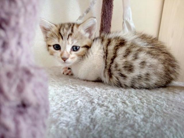 Osiris, femelle type européenne tigrée et blanche, née le 20 avril 2018 Img_2012