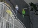 Photo de mes perruches  Dscn4513
