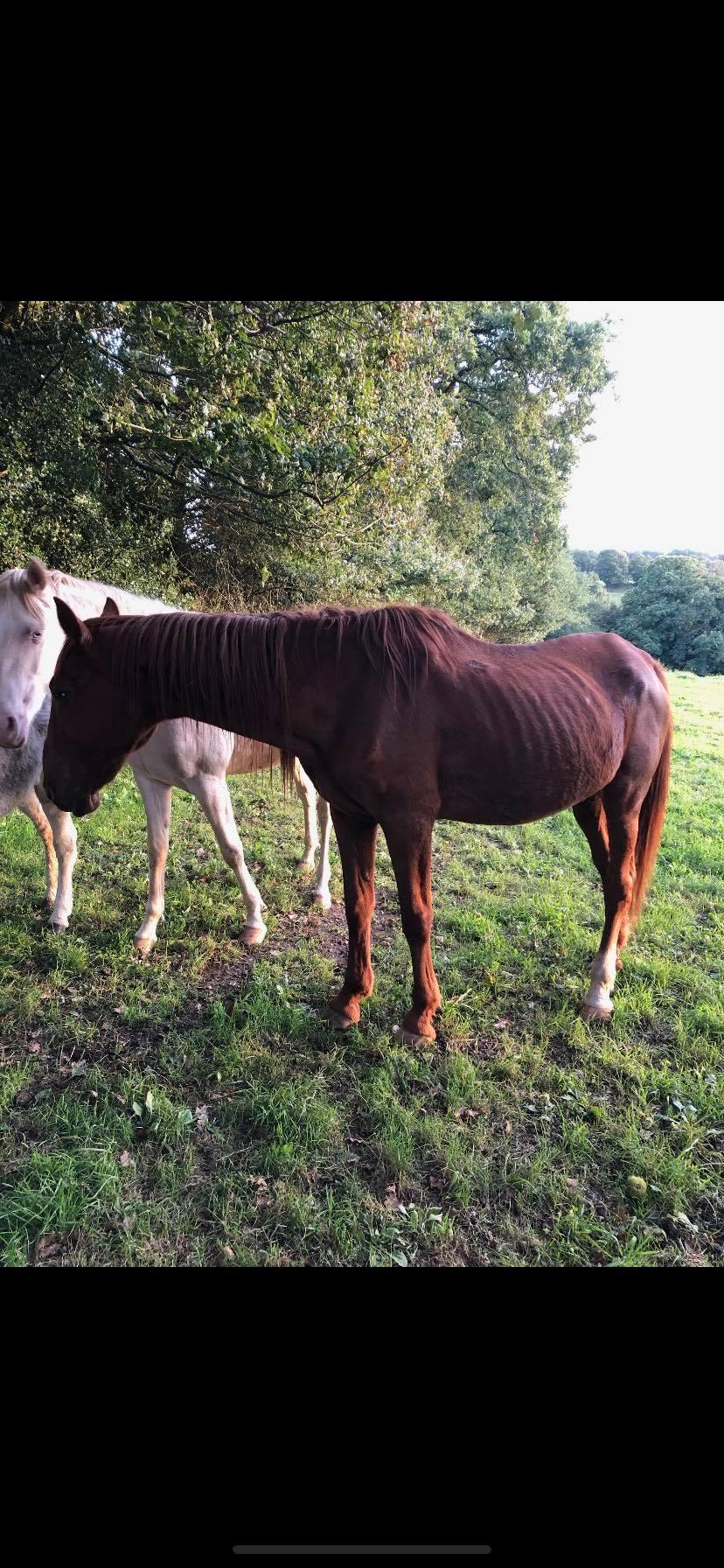 BELLOU - cheval alezan - 30 ans (FA longue durée) 74284810